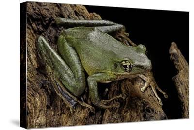 Odorrana Hosii (Poisonous Rock Frog)-Paul Starosta-Stretched Canvas Print
