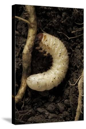 Melolontha Melolontha (Cockchafer, Maybug) - Larva or White Grub in Earth-Paul Starosta-Stretched Canvas Print