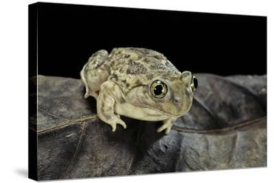Spea Bombifrons (Plains Spadefoot Toad)-Paul Starosta-Stretched Canvas Print