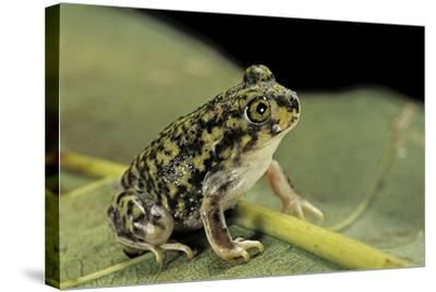 Scaphiopus Couchii (Couch's Spadefoot Toad)-Paul Starosta-Stretched Canvas Print
