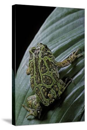 Scaphiophryne Madagascariensis (Madagascar Rain Frog)-Paul Starosta-Stretched Canvas Print