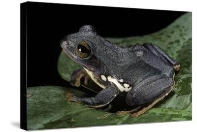 Rhacophorus Dennysi (Chinese Gliding Frog)-Paul Starosta-Stretched Canvas Print