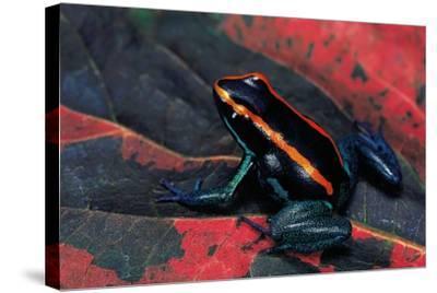 Phyllobates Vittatus (Golfodulcean Poison Frog)-Paul Starosta-Stretched Canvas Print