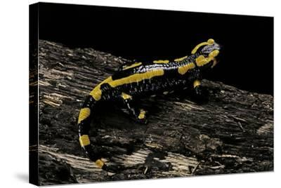 Salamandra Salamandra Terrestris (Fire Salamander)-Paul Starosta-Stretched Canvas Print
