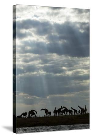 Giraffe Herd along Chobe River, Chobe National Park, Botswana-Paul Souders-Stretched Canvas Print