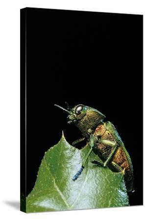 Aurigena Unicolor (Jewel Beetle)-Paul Starosta-Stretched Canvas Print