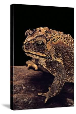 Duttaphrynus Melanostictus (Spectacled Toad)-Paul Starosta-Stretched Canvas Print