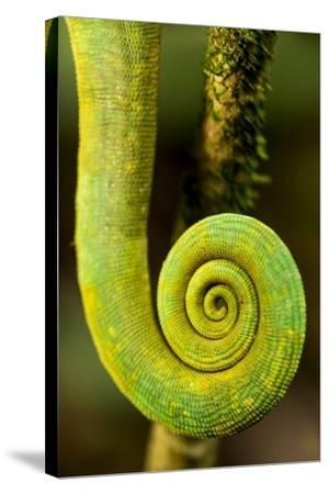 Parsons Chameleon Tail, Andasibe-Mantadia National Park, Madagascar-Paul Souders-Stretched Canvas Print
