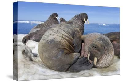 Walrus Herd on Iceberg, Hudson Bay, Nunavut, Canada-Paul Souders-Stretched Canvas Print
