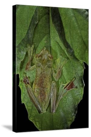 Rhacophorus Prominanus (Malayan Flying Frog)-Paul Starosta-Stretched Canvas Print