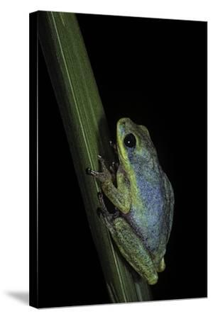 Hyperolius Tuberilinguis (Tinker Reed Frog)-Paul Starosta-Stretched Canvas Print