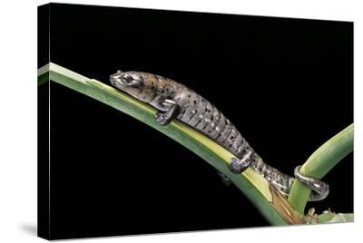 Bolitoglossa Dofleini (Giant Palm Salamander, Alta Verapaz Salamander)-Paul Starosta-Stretched Canvas Print