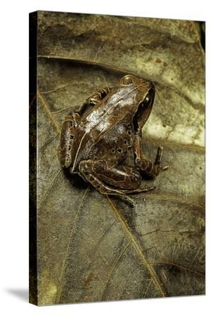 Arthroleptis Variabilis (Buea Screeching Frog)-Paul Starosta-Stretched Canvas Print