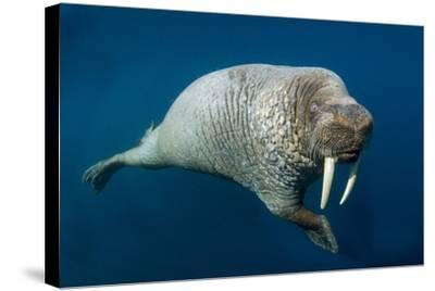 Underwater Walrus, Hudson Bay, Nunavut, Canada-Paul Souders-Stretched Canvas Print