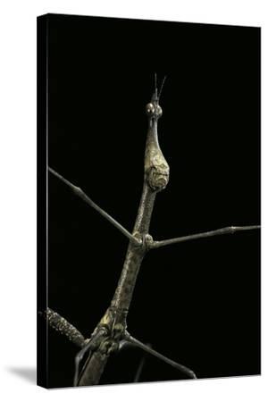 Proscopia Luceomaculata (Stick Grasshopper) Photographic Print by Paul  Starosta | Art com
