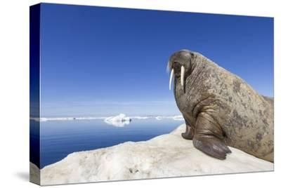 Walrus on Iceberg, Hudson Bay, Nunavut, Canada-Paul Souders-Stretched Canvas Print