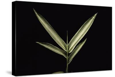 Pleioblastus Shibuyanus (Tsuboi Bamboo) - Leaf-Paul Starosta-Stretched Canvas Print
