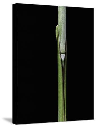 Sasa Kurilensis (Bamboo) - Shoot-Paul Starosta-Stretched Canvas Print