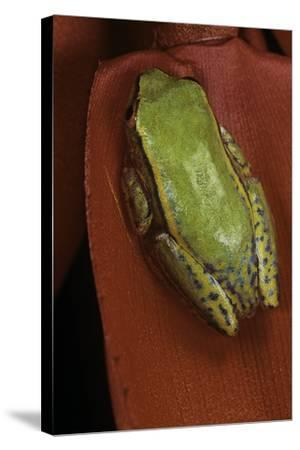 Heterixalus Betsileo (Betsileo Reed Frog)-Paul Starosta-Stretched Canvas Print