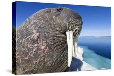 Walrus on Iceberg, Hudson Bay, Nunavut, Canada-Paul Souders-Stretched Canvas Print