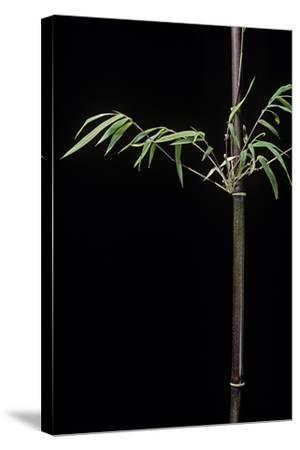 Hymalayocalamus Sp. (Bamboo)-Paul Starosta-Stretched Canvas Print