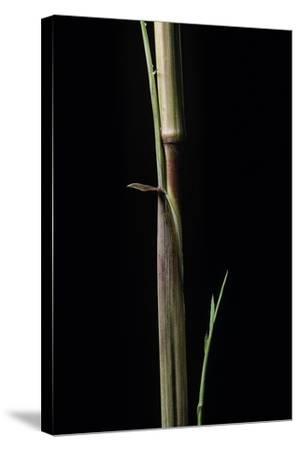Phyllostachys Aureosulcata 'Aureocaulis' (Yellow Groove Bamboo) - Shoot-Paul Starosta-Stretched Canvas Print