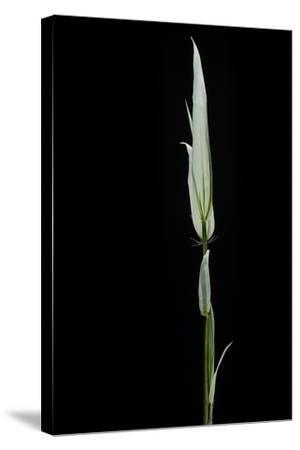 Phyllostachys Aurea 'Albovariegata' (Golden Bamboo, Fish-Pole Bamboo)-Paul Starosta-Stretched Canvas Print