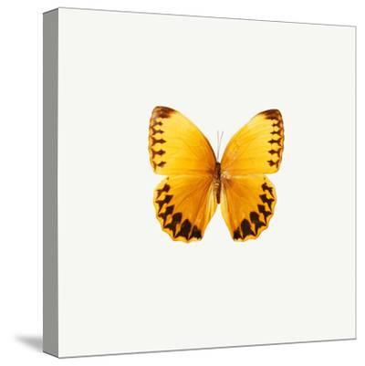 Yellow Butterfly-PhotoINC-Stretched Canvas Print