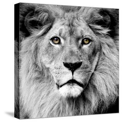 Lion--Stretched Canvas Print