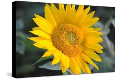 Sunflower Blossom--Stretched Canvas Print