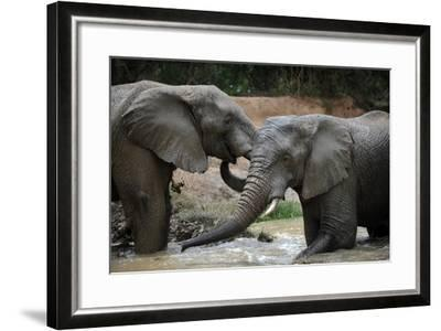 South Africa - Elephants, November 29, 2009 in Zuurberg--Framed Photo