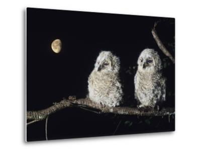 Two Owlets Perching on Tree Branch--Metal Print