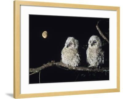 Two Owlets Perching on Tree Branch--Framed Photo