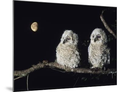 Two Owlets Perching on Tree Branch--Mounted Photo