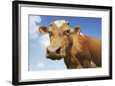 Close-Up Low Angle View of Brown Cow Against Blue Sky--Framed Photo