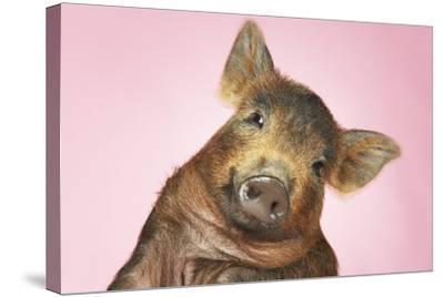 Brown Pig Against Pink Background with Head Cocked, Close-Up--Stretched Canvas Print