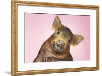 Brown Pig Against Pink Background with Head Cocked, Close-Up--Framed Photo