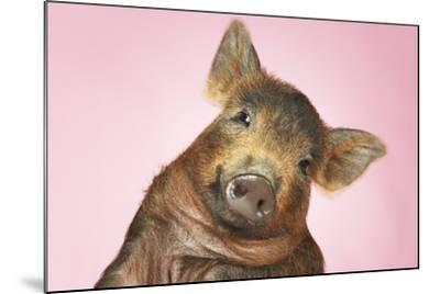 Brown Pig Against Pink Background with Head Cocked, Close-Up--Mounted Photo