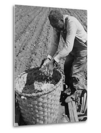 African American Farmer Planting Cotton in a Plowed Field in Butler County, Alabama, April 1941--Metal Print