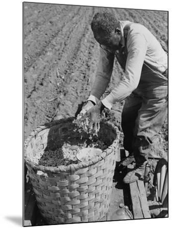 African American Farmer Planting Cotton in a Plowed Field in Butler County, Alabama, April 1941--Mounted Photo