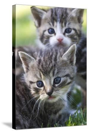 Kittens Sitting in the Grass--Stretched Canvas Print