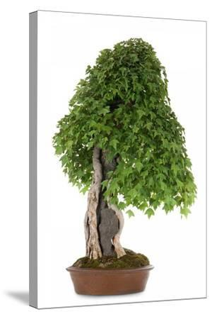 Bonsai-Fabio Petroni-Stretched Canvas Print