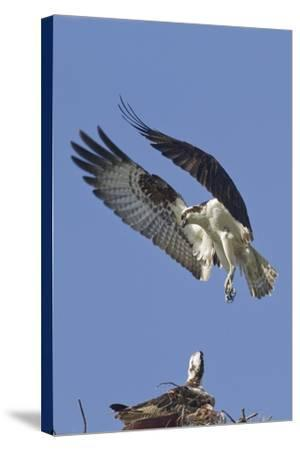 Osprey Landing at its Nest-Hal Beral-Stretched Canvas Print