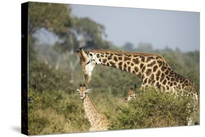 Giraffe Male and Calf-Richard Du Toit-Stretched Canvas Print
