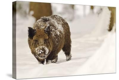 Wild Boar (Sus Scrofa) in the Snow, Bayerischer Wald National Park, Germania, Germany-Gabriele Bano-Stretched Canvas Print