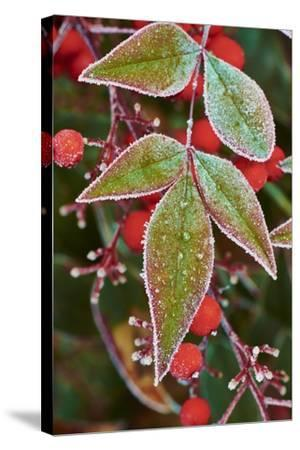 Frost; Leaves-Gary Carter-Stretched Canvas Print