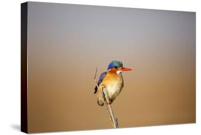 Malachite Kingfisher-Richard Du Toit-Stretched Canvas Print