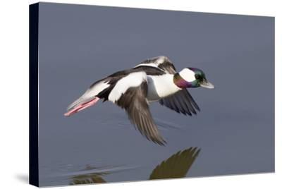 Bufflehead Drake in Flight-Hal Beral-Stretched Canvas Print