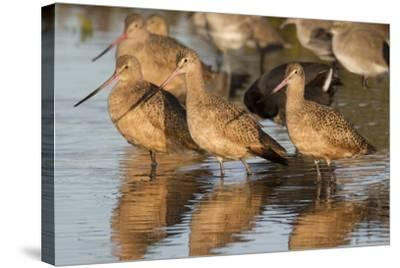 Marbled Godwits-Hal Beral-Stretched Canvas Print