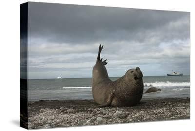 Southern Elephant Seal-Joe McDonald-Stretched Canvas Print
